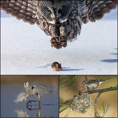 Epoustouflant (phil1496) Tags: nature photographie reportage faune animalier appétit prédateurs