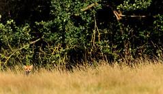 Pop-up Fox (markrellison) Tags: greatbritain wild male animal animals eyes eyecontact unitedkingdom iso400 wildlife hunting canine 300mm fox f56 lightroom redfox vulpesvulpes 11250sec lr4 ef300mmf28lisusm eyeconnection canoneos5dmarkiii lightroom4 smallinframe