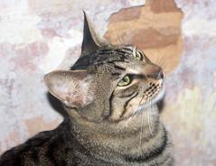 Bombn 23 (Asociacin Defensa Felina de Sevilla) Tags: espaa sevilla gatos felinos animales gatitos adoptar protectora adopciones apadrinar gatosurbanos defensafelina asociacindeanimales coloniasdegatos proteccindegatos activismoporlosanimales