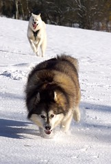 When Autumn Snows (grisswife) Tags: chase pet dog snow malamute