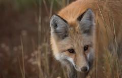 Fox Hunt (overthemoon3) Tags: fox hunting wildlifephotography wildlife grandtetons national park