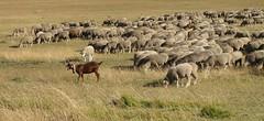 elles me font devenir chvre ! (b.four) Tags: goat capra mouton sheep pecora brebis ewe vauplane soleilhas alpesdehauteprovence chvre