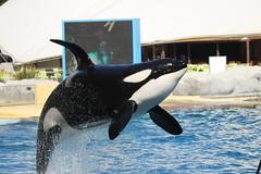 IMG_6919 (Bebelouga) Tags: orque marineland killerwhale orca