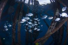 DSC_2127 (Mgungen) Tags: underwater underwaterphotography colourful nikon d7100 subal tokina 1017 inon z240 indonesia rajaampat diving scuba wideangle sea ocean coral reef jetty misoolecoresort