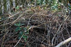 ckuchem-6382 (christine_kuchem) Tags: blumen frhblher frhling frhlingsgarten garten igel nachtquartier naturgarten naturschutz reisighaufen schneeglckchen tiere unterschlupf wildtiere winterschlaf naturnah ste