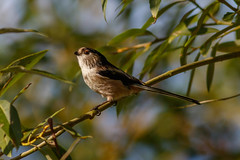 _F0A9367.jpg (Kico Lopez) Tags: aegithaloscaudatus galicia lugo mito mio spain aves birds rio mio