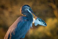 Tis But A Scratch (gseloff) Tags: greatblueheron mullet fish feeding bird wildlife armandbayou pasadena texas kayakphotography gseloff