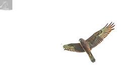 Harrier 08 (Black Stallion Photography) Tags: australasian harrier bird wildlife newzealand nzbirds prey open wings feathers brown flight black stallion photography igallopfree