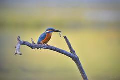 l'heure du gouter (Martin pcheur, Lac du Tolerme, Lot, France (Bni.F) Tags: martinpecheur oiseaubleu bluebird nature kingfisher