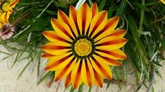 Yellow stripy flower (oatsy40) Tags: flower stripy
