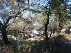 Olive grove, Meganissi (TessMJG) Tags: olive grove ionian light colour shadow dappled