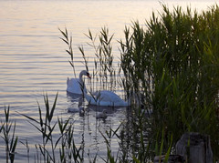 Rusanda Swans (L.L.V.) Tags: rusanda banja spa lake jezero swans labudovi national park birds beautiful nature travel tourism destination srbija vojvodina serbia banat melenci