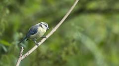 Juvenile Blue Tit (Mark Illand) Tags: blue tit juvenile birds nature photography rspb lochwinnoch scotland uk local nestbox sony sonyalphadslr a77 70300gssm ngc colour outdoor sal70300g