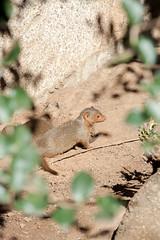 Baby Mongoose. (LisaDiazPhotos) Tags: baby mongoose san diego zoo sandiegozooglobal sandiegozoosafaripark sandiego lisadiazphotos