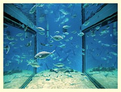 We fish, we fish, we merrily swim... (kurtwolf303) Tags: laqurium barcelona fish aquarium fische water wasser becken glass glasscheiben reflections spiegelungen spanien spain katalonien fotorahmen frame olympusem1 omd microfourthirds micro43 systemcamera mirrorless spiegellos blue blau unlimitedphotos 250v10f topf25 500v20f topf50 animals tiere 800views topf75 900views 1000v40f topf100