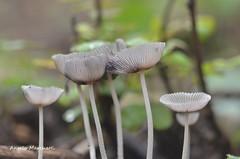 ...  da adulti prendiamo la forma a calice ! (Plebejus argus) Tags: coprinusxanthotrix funghi bosco macro valle dei santi lepini lazio italia
