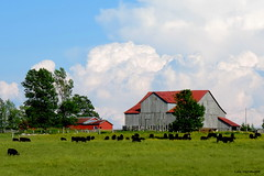 Farm near Lion's Head, Ontario - IN EXPLORE (Lois McNaught) Tags: farm rustic rural lionshead ontario canada outdoor cows scene landscape barn shed oldbuilding oldbarn summer blackangus