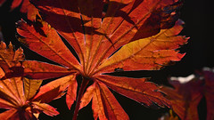 maple leaf in autumn (karinrogmann) Tags: macromondays backlit ocotber24 mapleleaf ahornblatt herbst gegenlicht