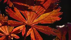 maple leaf in autumn (karinrogmann) Tags: macromondays backlit ocotber24 mapleleaf ahornblatt herbst gegenlicht