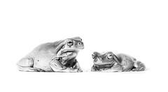 De marbre (Mathieu Thiebaut | http://www.mathieuthiebaut.com) Tags: grenouille rainette frog frosche litoria bw nb black white noir blanc noiretblanc blackandwhite monochrome sony alpha france french