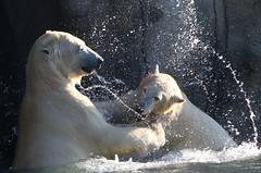 Polar Bear Mayhem (Ger Bosma) Tags: 2mg197142 ijsbeer ursusmaritimus polarbear eisbr polarbr oursblanc ourspolaire osopolar osoblanco orsopolare orsobianco  closeup fighting polarbears bears fight wrestling water spray lunging