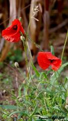 Les coqulicots d'Automne (Barnie76@ ,) Tags: coquelicots pavots fleur flower nature fleurssauvages saintaubinepinay