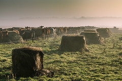 chow line (Christian Collins) Tags: ef70200mm canon t2i midland county mi stark road cow steers rope bale hay sunrise amanecer vaca vacas grass fog mist morning moo herford angus moocow cowoverthemoon