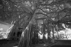 Palace Banyan / Honolulu / Sony A7 / 850nm Infrared Modified / Sony 16-35 f4 (neilcar) Tags: 850nm banyantree hi hawaii ir oahu blackwhite blackandwhite bw infrared kolarivisioncom monochrome palace tree