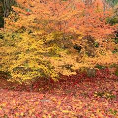 late autumn (snowshoe hare*(catching up)) Tags: fall autumn fallfoliage autumnfoliage autumncolours fallcolors hokyointemple kyoto  dsc0218    enkianthusperulatus japanesemaple fallenleaves