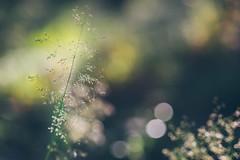 diving through light (Stadt_Kind) Tags: bokeh bokehlicious bokehaddicts vollformat sonyilce7 sonya7 samyang2135 primelens manuallens nature naturephotography grass gras grashalme dof depthoffield doflicious stadtkind kempten germany bavaria europe popular plant pflanze mostinteresting