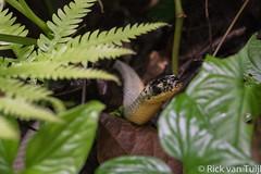 DSC_7310.jpg (Rick van Tuijl) Tags: snake costarica2016 slang parquenacionalmanuelantonio serpiente quepos culebra costarica cr