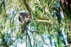 ... senza aspettarti nulla dal di fuori o nell'al di l (Reflexionist) Tags: scoiattolo parco animale allaperto scoiattologrigio mammifero albero foglie verde sanfrancisco sf presidiopark squirrel park animal outdoor graysquirrel mammal tree leaves green nikon nikond750 d750 nikonitalia reflexionist
