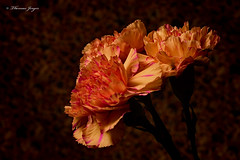 Carnation Set 1202 Copyrighted (Tjerger) Tags: nature black bloom brown carnation closeup fall flora floral flower group macro petals pink plant portrait purple set stems three trio wisconsin natural brownbackground