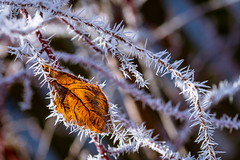 ice needles (phlickrron) Tags: nature ice frost outdoors macro detail bokeh winter leave cold bavaria