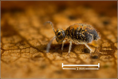 Springtail measure ... (Ed Phillips 01) Tags: katiannidae katiannid springtail collembola scale mpe macro staffordshire explored