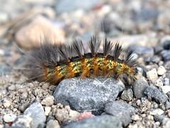 Saltmarsh Moth Caterpillar, Estigmene acrea (bruce_aird) Tags: