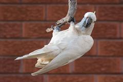 Exercise Cockatoo 2 (SC) Tags: cockatoo australia sulphurcrestedcockatoo parrot