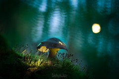 Sous la lune (Fontaine Loic - photographie) Tags: macro mushroom fungi pilz champignon forest light lightpainting nature botanic colorful view trees wall wide wood wild traditional panoramic sky texture rain image misty color fall leaves scene canon tamron 6d glowing glowingmushroom