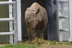 Yorkshire Wildlife Park 03.11.16 157 (SnapAndy1512) Tags: yorkshirewildlifepark031116 yorkshirewildlifepark blackrhino rhino animals zoo