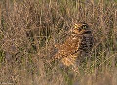 Burrowing Owl (mjbolte) Tags: birds burrowingowl ucsantacruz