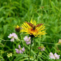 Mélitée des mélampyres_Melitaea athalia (nicéphor) Tags: nymphalidae nymphalinae rhopalocères faune nature fleurs couleurs eos50d
