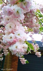 61. SAKURA BLOSSOMS: Romantic Cascades (www.YouTube.com/PhotographyPassions) Tags: sakura cherryblossom blossoms flowers plant tree bush pink pastel mlpphflora blooms