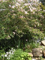 Spring Blossom (dioshotspot) Tags: blossom spring strawberrytree