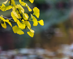 The Water's Edge (Fourteenfoottiger) Tags: yellow sunlight sunshine pretty water lake tree ginkgobiloba reflections autumn fall fallcolours autumncolours branch nature foliage leaves bokeh swirlybokeh softbokeh muted dof depthoffield focus
