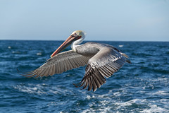 Flying Brown Pelican (http://fineartamerica.com/profiles/robert-bales.ht) Tags: forupload projects thanksgiving pelican water ocean wings nature bird wildlife brown birds flight flying shore pelecanus occidentalis blue birding pelecanusoccidentalis brownpelican coast sea birdwatching feathers animals ornithology wild feather pelicans waterfront waterfowl birdflying shorebird closeup gliding seabird fowl waterbird louisianastatebird aves birdphotography american beauty robertbales piling pouch pacificcoast pacificnorthwest
