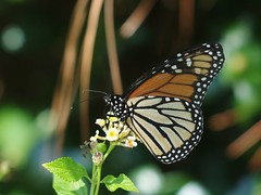 Monarch (bamboosage) Tags: helios 402 1585 preset m42 russia