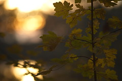 Autumn Sunset (Stefan Zwi.) Tags: sunset autumn herbst sonnenuntergang backlit onny a7 ilce7 sigma105mmmacro sigma makro abend licht