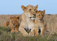 P1030647 - Version 2 (NewbyGaronga) Tags: africanwildlife bigcats lion cubs masaimara kenya panasonic