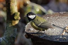 Great tit (david.england18) Tags: greattit smallbirds various tits f28 sun shadows frost queensparkheywood canon7d canonef70200mmf28isllusm birdsuk