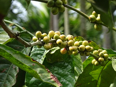 Raw Coffee Beans (Champion Swimmer) Tags: coffee plantation india madikeri